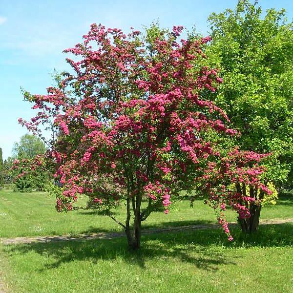 Боярышник скарлет дерево фото