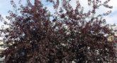 Черёмуха виргинская Shubert 1