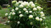 Гортензия древовидная белая Анабель1