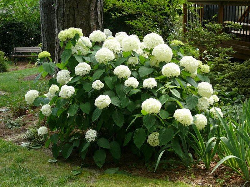 Гортензия с белыми цветами