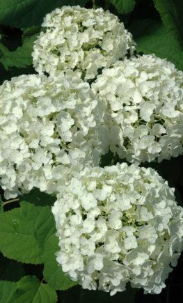 Гортензия древовидная белая Анабель2