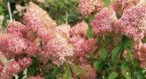 Гортензия метельчатая Vanille Fraise1