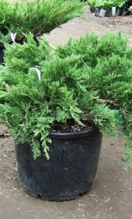 Juniperus-Tamariscifolia