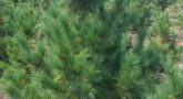 Кедр сибирский Pinus sibirica1