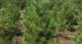 Кедр сибирский Pinus sibirica2