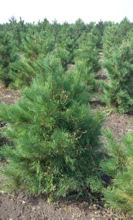 Кедр сибирский Pinus sibirica4