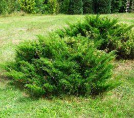 Можжевельник казацкий 'Juniperus sabina'2