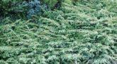 Можжевельник обыкновенный 'Грин Карпет'