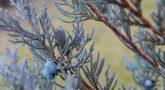 Можжевельник скальный Мунглоу Moonglow2