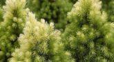 Picea-glauca-Daisys-white-3
