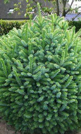Picea-omorika-Nana-2