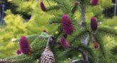 Picea_abies_Acrocona_2
