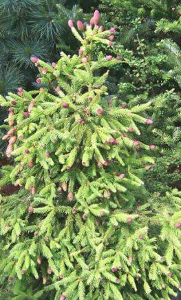 Picea_abies_Acrocona_3