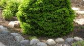 Picea_abies_Ohlendorffi_2