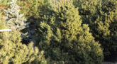 Picea_abies_Ohlendorffi_6