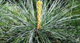 Pinus_koraiensis-2