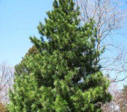 Pinus_koraiensis