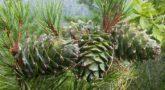 Pinus_koraiensis-3