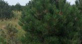 Сосна черная 'Pinus nigra'2