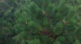 Сосна черная 'Pinus nigra'3