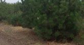 Сосна черная 'Pinus nigra'4