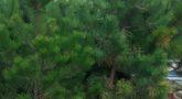 Сосна черная 'Pinus nigra'5