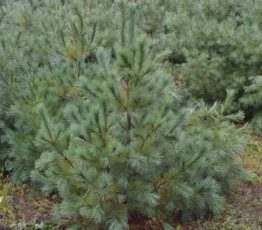 Сосна веймутова 'Pinus strobus'5
