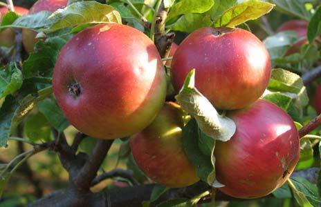 фото сорт яблок жигулевское