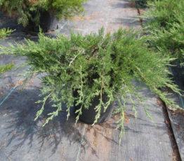 juniperus_rockerygem2