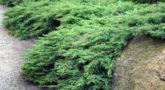 juniperus_rockerygem4
