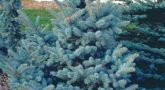 picea-oldenburg