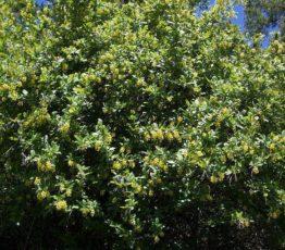 Барбарис Обыкновенный (vulgaris)