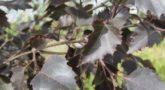 Береза повислая Purpurea1