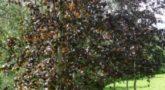 Береза повислая Purpurea2