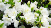2125_rododendron-tupoy-schneeperle