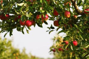 Саженцы яблони от Диво Сад