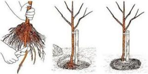 посадка вишни яма