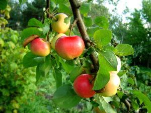 посадка яблони саженцем