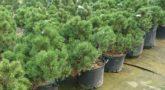 Pinus-Gnom-2