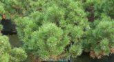 Pinus-Gnom-3