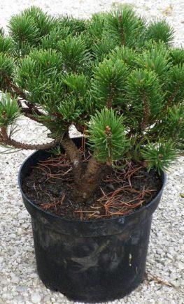 Pinus-Gnom-6