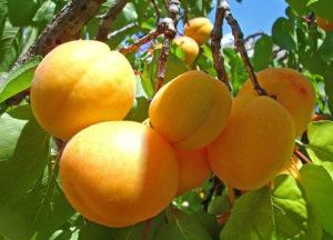 Саженцы абрикосов