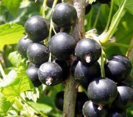Ribes-Bagira
