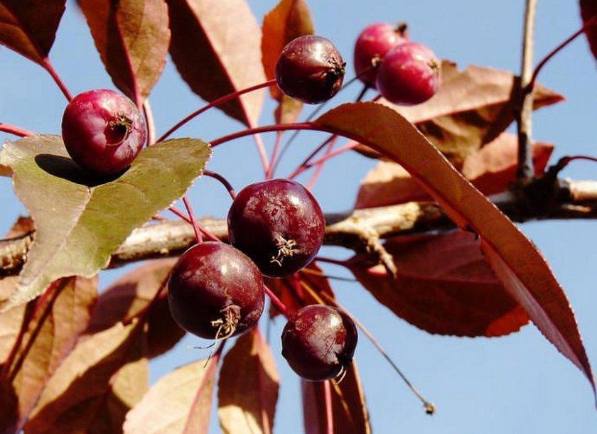 хорошо пробивал декоративные яблони описание сортов и фото калина подойдет всем