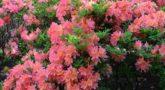 Rhododendron japonicum pink (1)