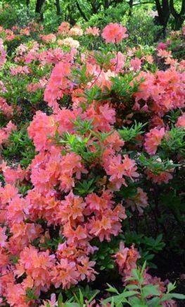 Rhododendron japonicum pink