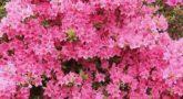 Rhododendron japonicum pink_1