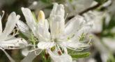 Рододендрон Канадский белый1