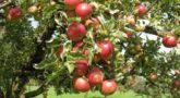 apple-tree-3-768x576