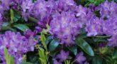 rhododendron-catawbiense-grandiflorum-m002320-668426-0